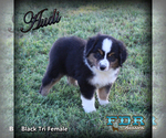 Audi Mini Black Tri Female Aussie