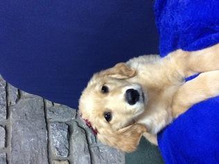 Golden Retriever Puppy For Sale in JAMESTOWN, KY, USA