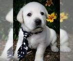 Labrador Retriever Puppy For Sale in FOUNTAIN, CO, USA
