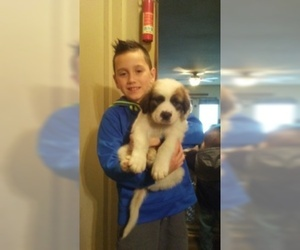 Great Pyrenees-Saint Bernard Mix Dog for Adoption in MONTPELIER, Ohio USA