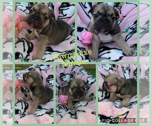 French Bulldog Puppy for sale in MARICAMP, FL, USA