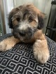 Soft Coated Wheaten Terrier Puppy For Sale in RICHMOND, IL, USA