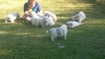 Great Pyrenees Puppy For Sale in KINGMAN, IN, USA