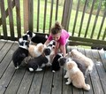 Border Collie Puppy For Sale in MEADOWVIEW, VA,