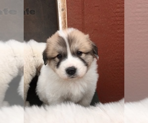 Great Pyrenees Puppy for sale in HESSTON, KS, USA
