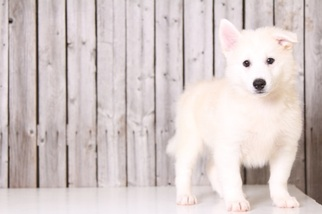 Huskimo Puppy For Sale in MOUNT VERNON, OH