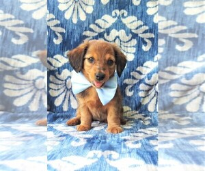 Dachshund Puppy for sale in LANCASTER, PA, USA