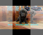 Small #10 Labrador Retriever