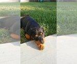 Small #54 Rottweiler