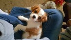 Cavalier King Charles Spaniel Puppy For Sale in NORTH OLMSTED, OH