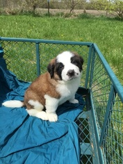 Saint Bernard Puppy For Sale in CANTRIL, IA