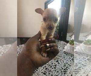 Chihuahua Puppy for sale in DALE CITY, VA, USA