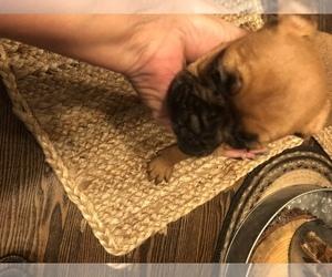 French Bulldog Dog for Adoption in UNIONTOWN, Ohio USA