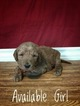 Labradoodle Puppy For Sale in TINGLEY, IA, USA