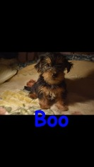 Morkie Puppy For Sale in EDISON, NJ, USA