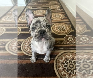 French Bulldog Puppy for Sale in SACRAMENTO, California USA