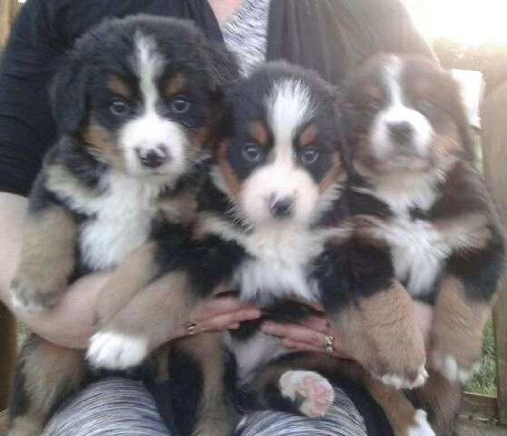 View Ad: Bernese Mountain Dog Litter of Puppies for Sale United Arab Emirates