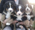 Bernese Mountain Dog Puppy For Sale in TURBOTVILLE, PA, USA