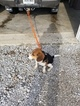 Beagle Harrier Puppy For Sale in LEBANON, IN, USA