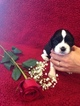 English Springer Spaniel Puppy For Sale in MADRID, IA