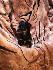 Chihuahua Puppy For Sale in WALNUT CREEK, CA, USA