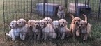 Goldendoodle Puppy For Sale in LONE JACK, MO, USA