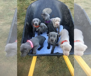 Weimaraner Puppy for Sale in SHELBYVILLE, Indiana USA