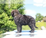 Small #45 Goldendoodle