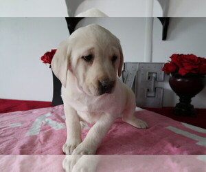 Labrador Retriever Puppy for sale in GRAND RAPIDS, MI, USA
