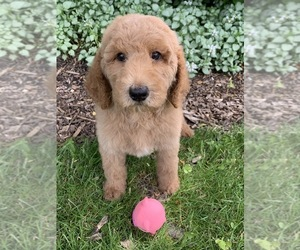 Goldendoodle-Poodle (Miniature) Mix Puppy for Sale in RICHMOND, Illinois USA