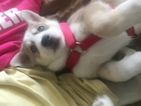 Siberian Husky Puppy For Sale in PALM COAST, FL, USA
