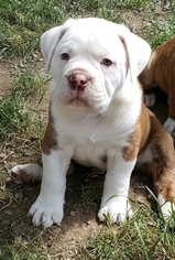 Olde English Bulldogge Puppy For Sale in COEUR D ALENE, ID