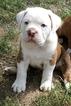 Olde English Bulldogge Puppy For Sale in COEUR D ALENE, ID