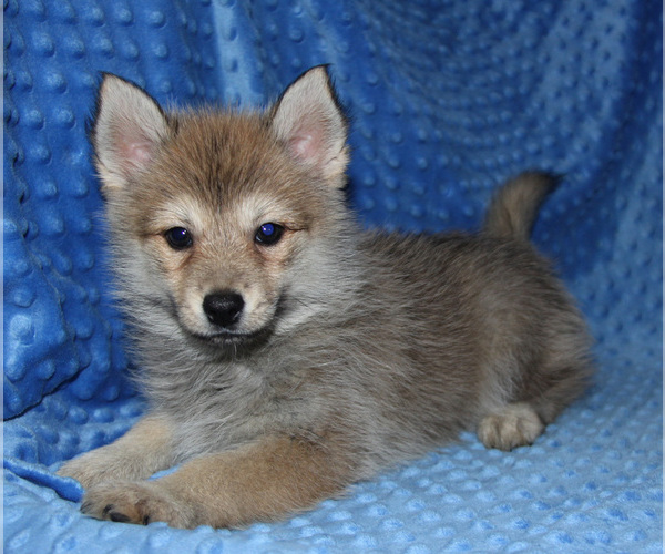 Medium Photo #4 Pomsky Puppy For Sale in DENTON, TX, USA