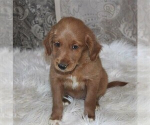 Goldendoodle-Poodle (Miniature) Mix Puppy for sale in STANLEY, WI, USA