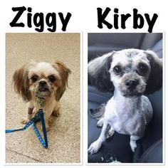 Shih-Poo Dog For Adoption in FAIRVIEW HEIGHTS, IL, USA