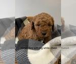 Puppy 2 Miniature Labradoodle