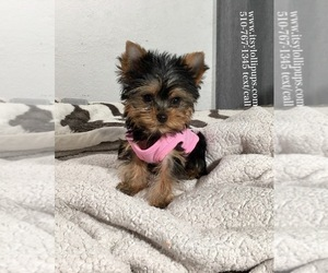 Yorkshire Terrier Dog for Adoption in HAYWARD, California USA