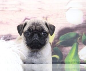 Pug Puppy for Sale in MARIETTA, Georgia USA