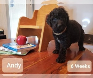 Goldendoodle Puppy for Sale in WEST PALM BEACH, Florida USA