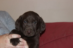 Labrador Retriever Puppy For Sale in VIRGINIA BEACH, Virginia,
