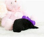 Small #9 Pomeranian-Poodle (Toy) Mix