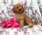 Small #4 Cavapoo-Poodle (Miniature) Mix