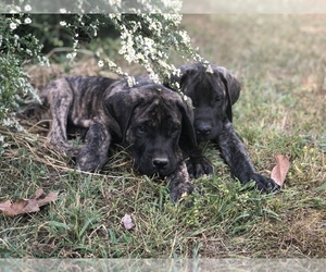 Mastiff Puppy for Sale in BRIDGETON, New Jersey USA