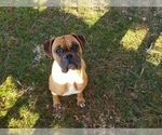 Boxer Puppy For Sale in GLENWOOD, IN, USA
