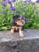 Yorkshire Terrier Puppy For Sale in SUGARCREEK, OH,