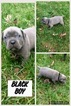 Registered cane corso pups