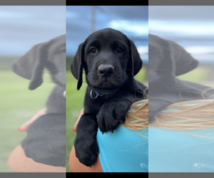 Labrador Retriever Puppy for sale in JEFFERSON CITY, MO, USA