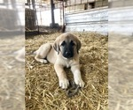 Small #10 Anatolian Shepherd