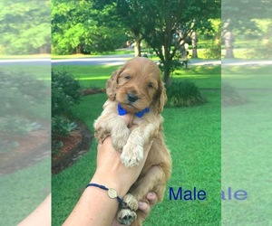 Goldendoodle-Poodle (Standard) Mix Puppy for sale in PINEVILLE, LA, USA